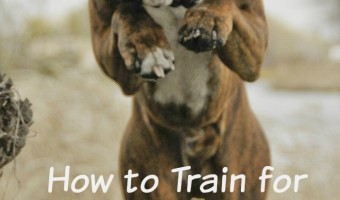 Interested in getting your dog into jumping competition? Click this to learn how to train him!