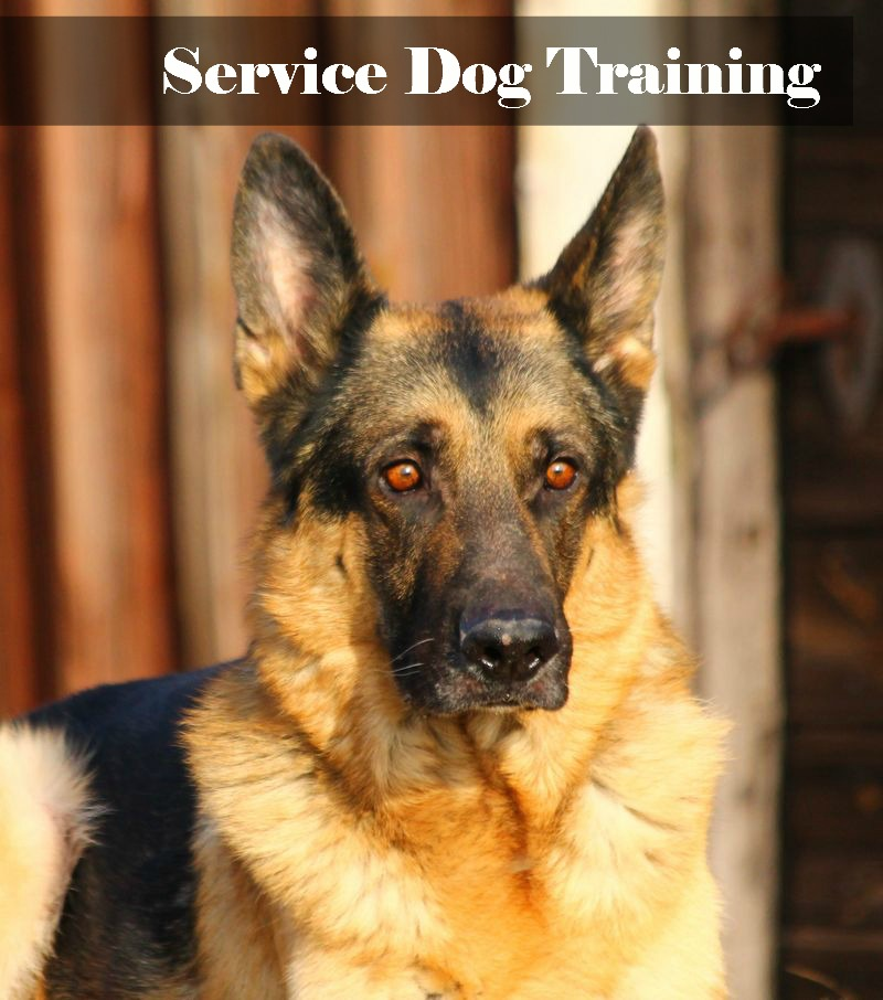 What You Need to Know about Service Dog Training