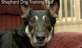 Shepherd dog training tips from DogVills.com