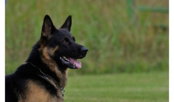 Things to remember about obedience training for dogs:
