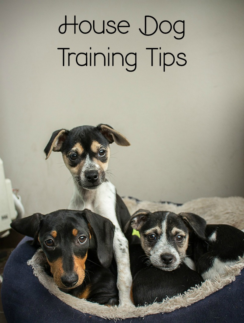 House Dog Training for Indoor Dogs