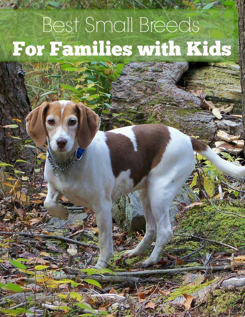 Small dog breeds that are great with kids dogvills - Best dog breeds kids ...