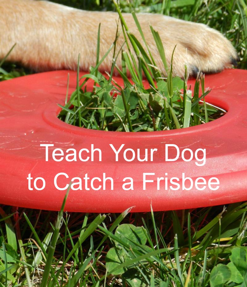 Dog Training Tips: How to Teach Your Dog to Catch a Frisbee