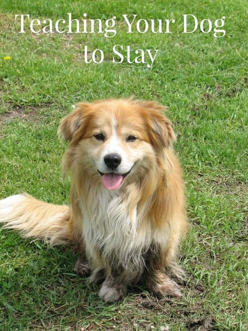 Dog Training Tips: Teaching Your Dog to Stay