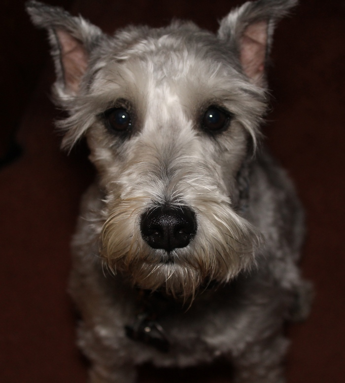 Small Breed Hypoallergenic dogs: Schnauzer