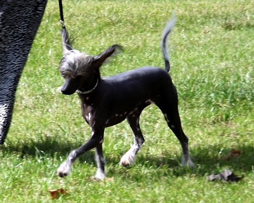 chinese crested Small Breed Hypoallergenic dogs