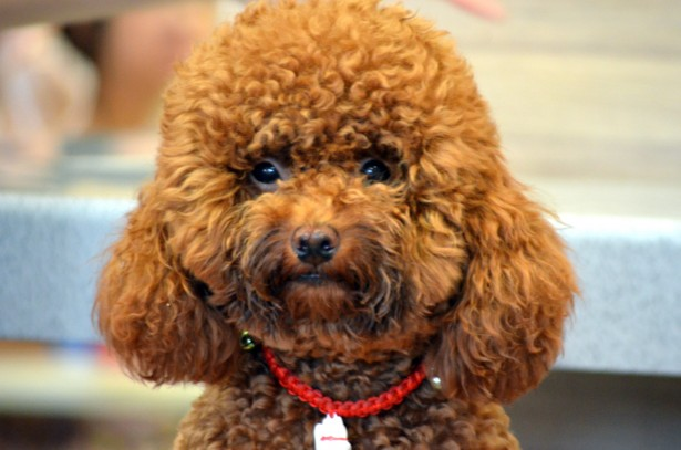 Small Breed Hypoallergenic dogs: Poodle