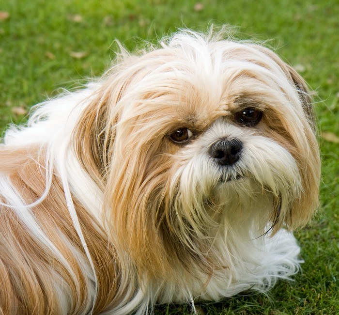 Long Haired Dog Breeds: Shih Tzu