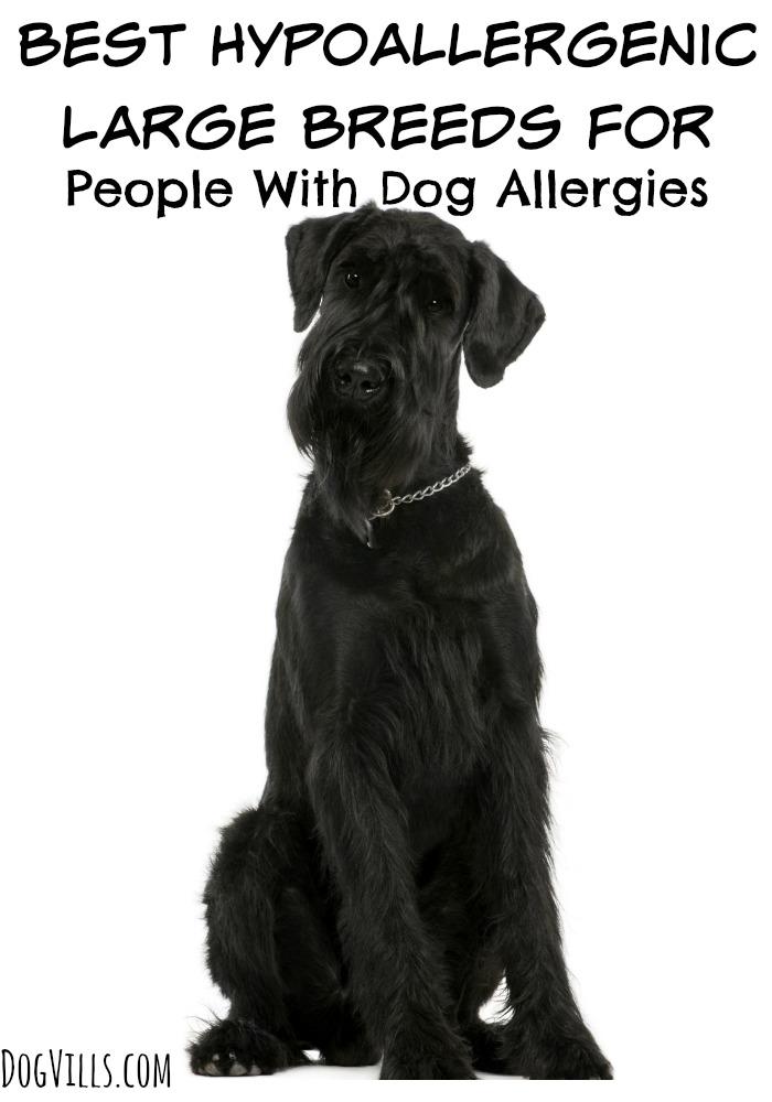 Big Dog Breeds For Allergies