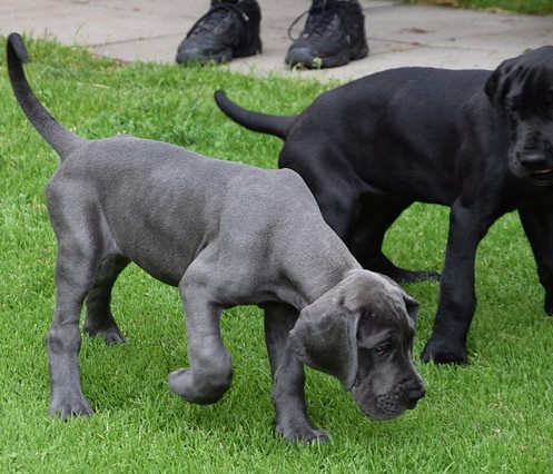 Worried that your pup is one of the dog breeds at risk for bloat? Learn which breeds are the highest on that list and what you can do to keep them safe!