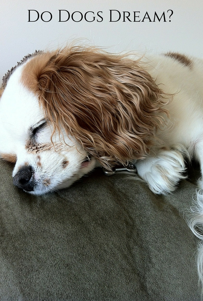 Do Dogs Dream? What's Happening When Fido Twitches in His Sleep