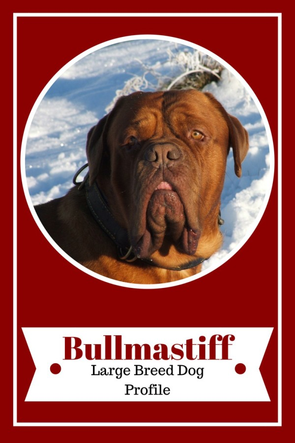 Looking for the perfect large dog breed for your family? Check out facts about the Bullmastiff and see if it's the right family dog for you!