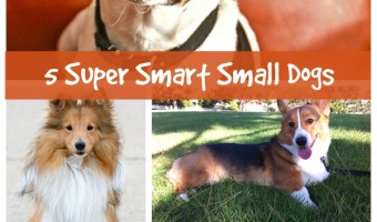 Five Small Dog Breeds That Are Highly Intelligent
