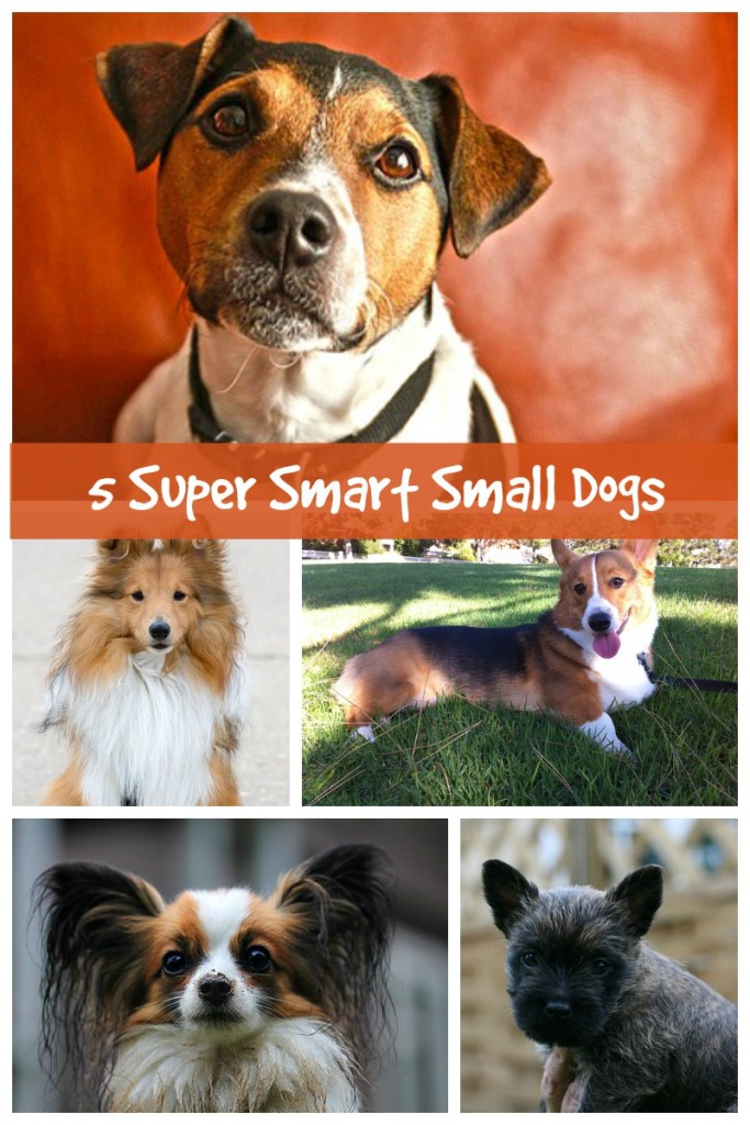 Five Small Dog Breeds That Are Highly Intelligent Dog Vills