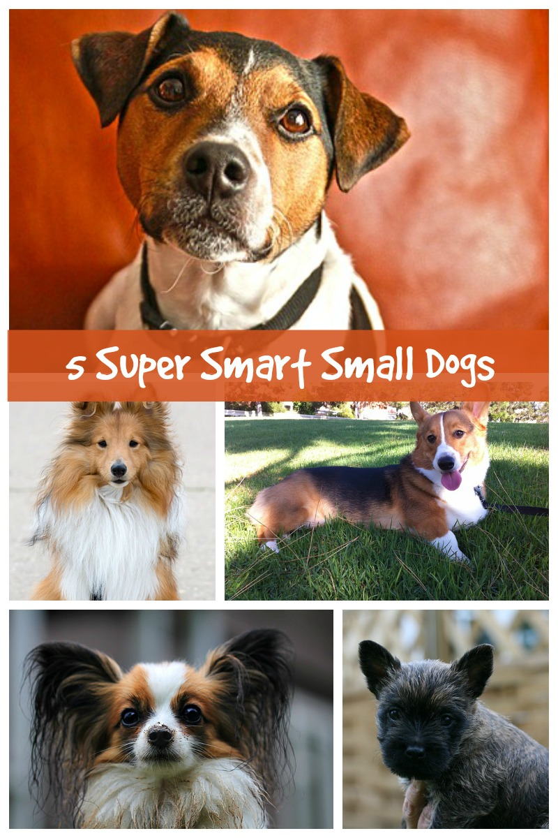 Five Small Dog Breeds That Are Highly Intelligent - Dog Vills