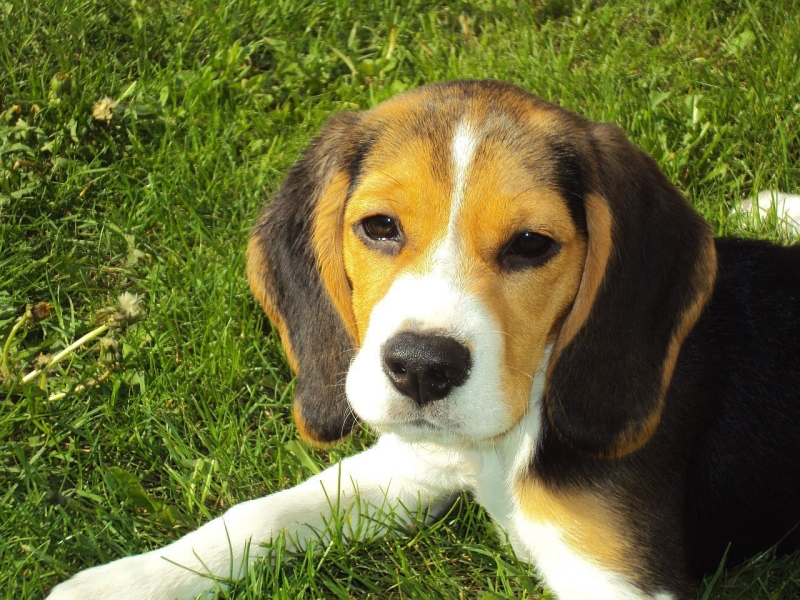 America's Top 50 Favorite Dog Breeds: Beagle