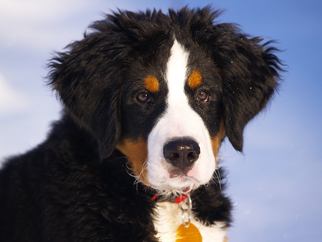 The Bernese Mountain dog is one of the best dog breeds for cold weather.