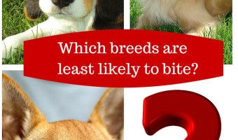 Planning on getting a new dog? Knowing the breeds with least bites on their records is a good place to start your search! Check out our list!
