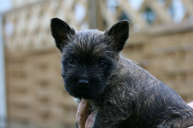 Five Small Dog Breeds That Are Highly Intelligent Cairn Terrier