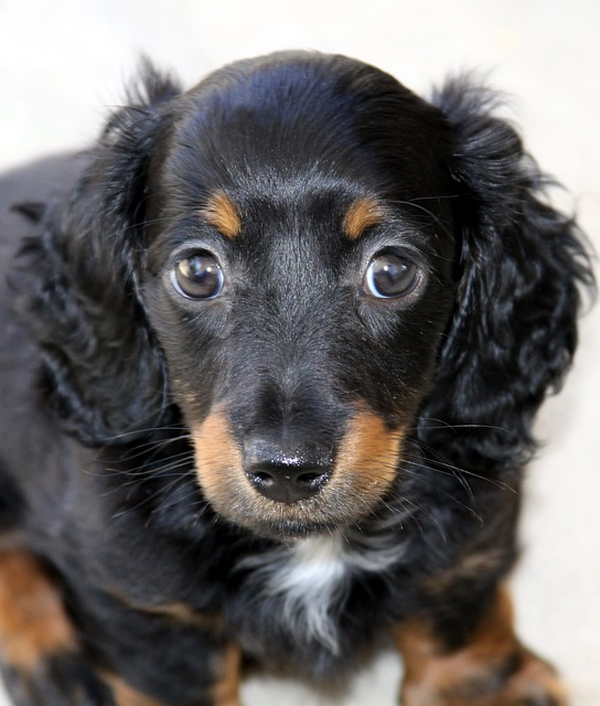 Best Dog Breeds to Adopt Dachsund