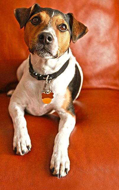 Five Small Dog Breeds That Are Highly Intelligent Jack Russel