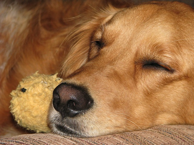 Golden retrievers are one of the top dog breeds most susceptible to cancer.