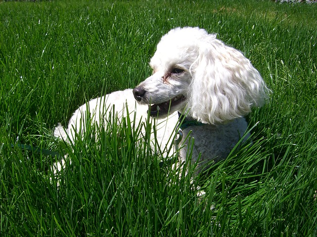 The poodle is one of the top 10 cleanest dog breeds.