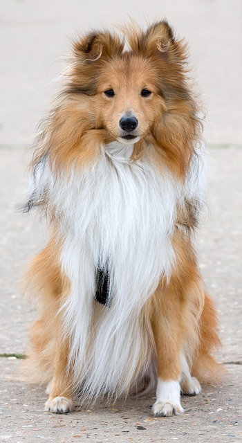 Five Small Dog Breeds That Are Highly Intelligent Sheltie