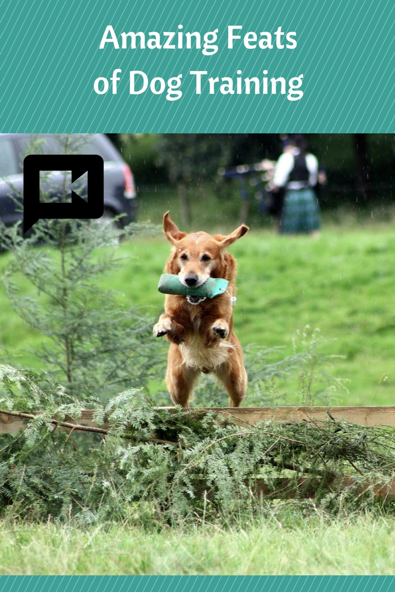 Insanely Amazing Feats in Dog Training: 3 Jaw-Dropping Dog Videos