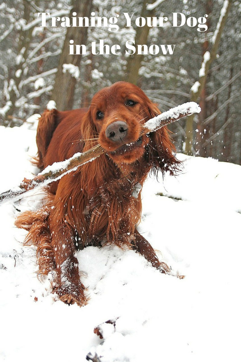 Important Safety Tips for Training Your Dog in the Snow