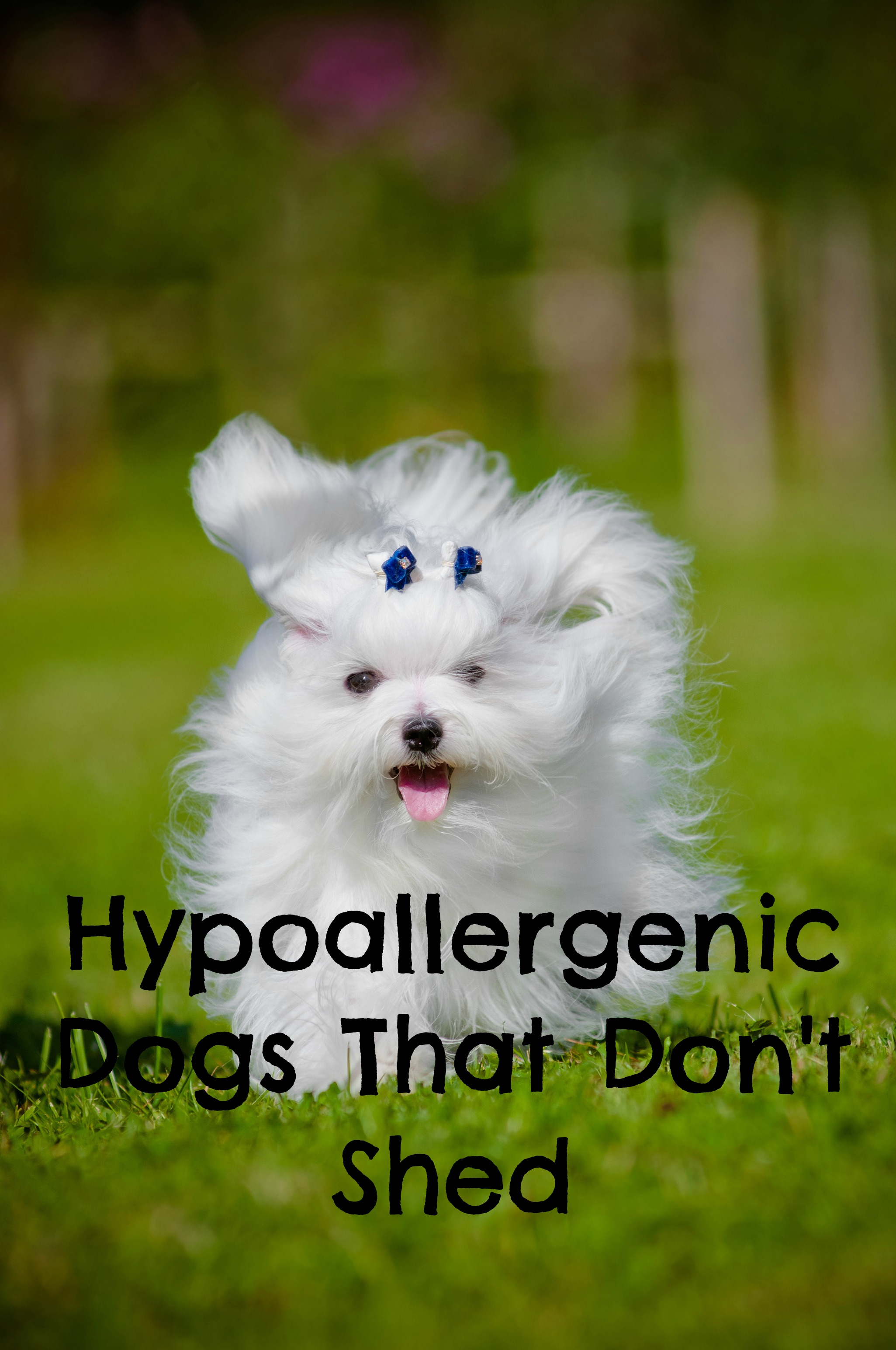 Which Hypoallergenic Dogs Don't Shed?