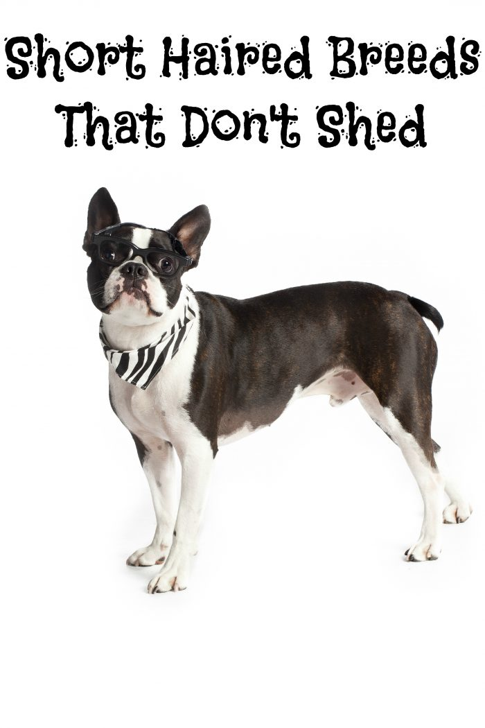 Short Haired Breeds That Don T Shed Dogvills