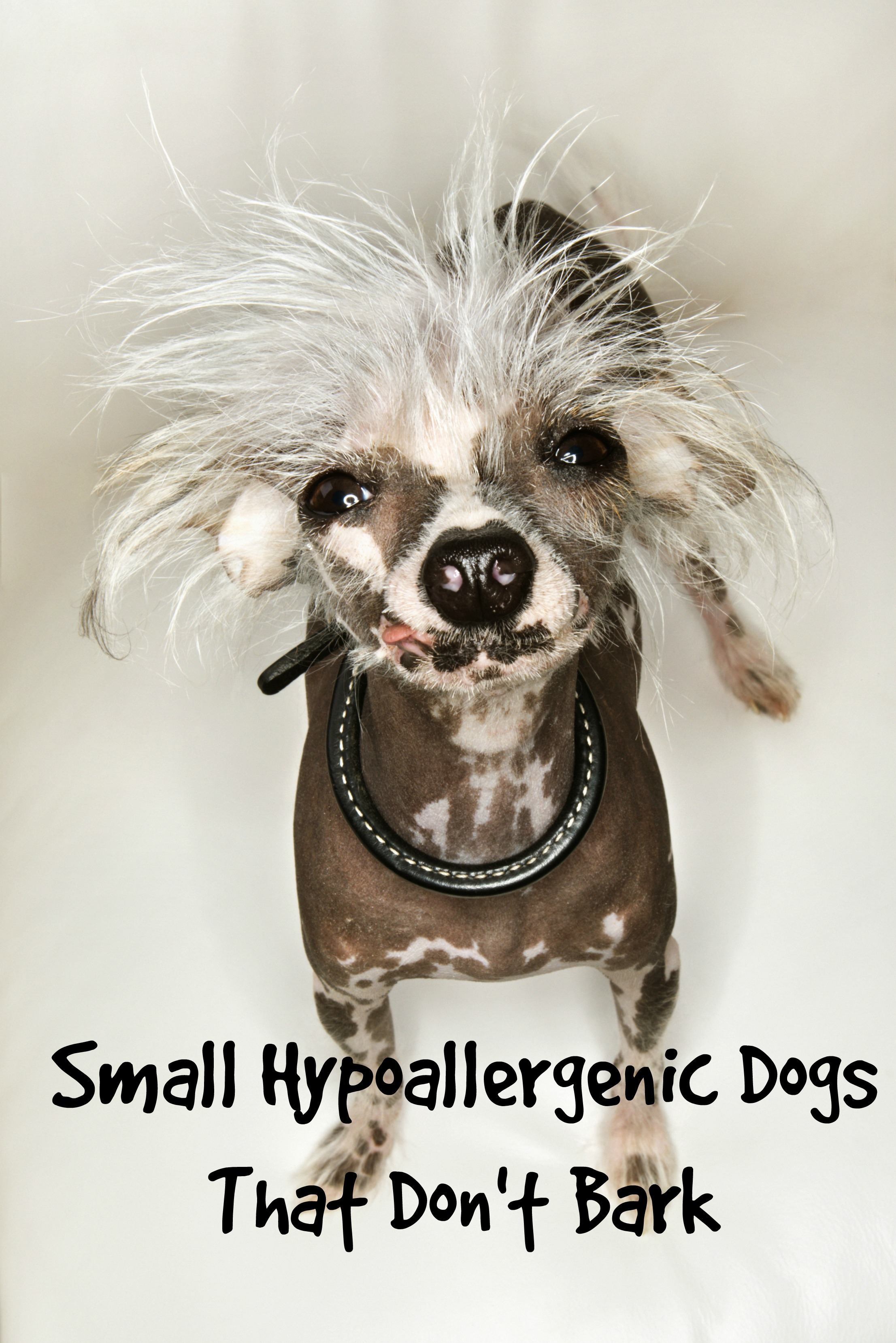 Aninimal Book: Small Hypoallergenic Dogs That Don't Bark...Much - Dog Vills