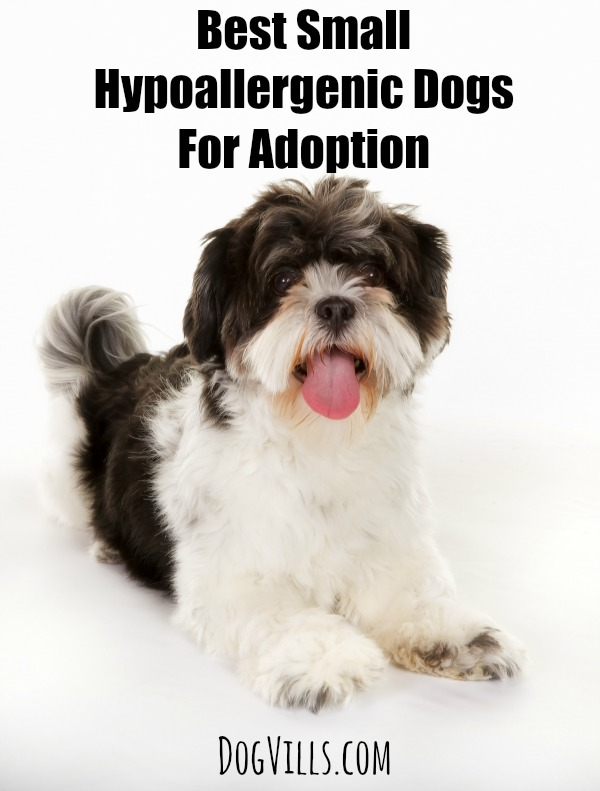 best small hypoallergenic dogs for adoption dog vills