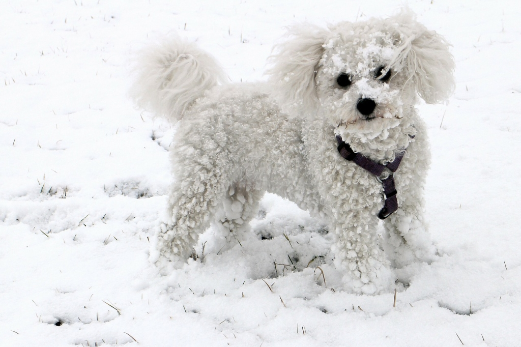 Best Small Hypoallergenic Dogs For Adoption