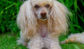 Looking for the best dogs with hypoallergenic coats? Check out these pooches that will make the perfect addition to your family, even if you have allergies!