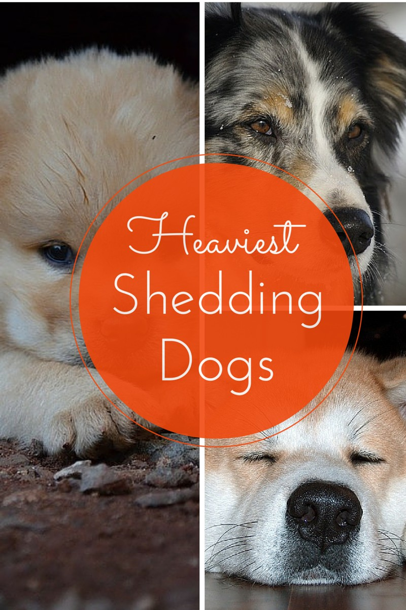 Least Hypoallergenic Dogs Which Dogs Shed The Most