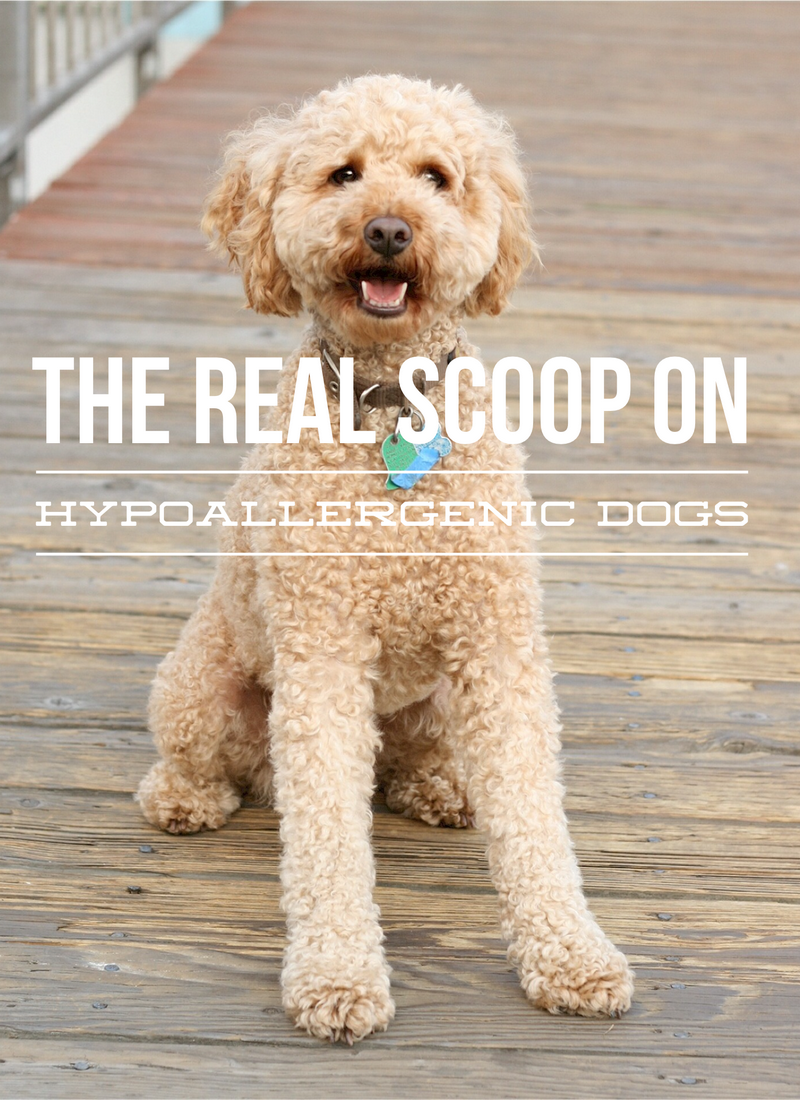 The Hypoallergenic Dog – What's the Real Scoop