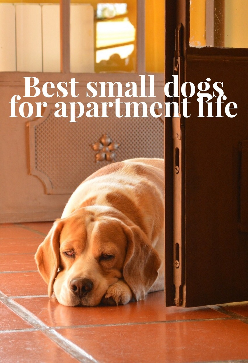 Small Dogs An Apartment Dweller S Best Friend