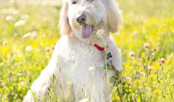 Why are some dogs hypoallergenic? It's a common question with no easy answer, because there really are no hypoallergenic dogs - only less allergenic ones.