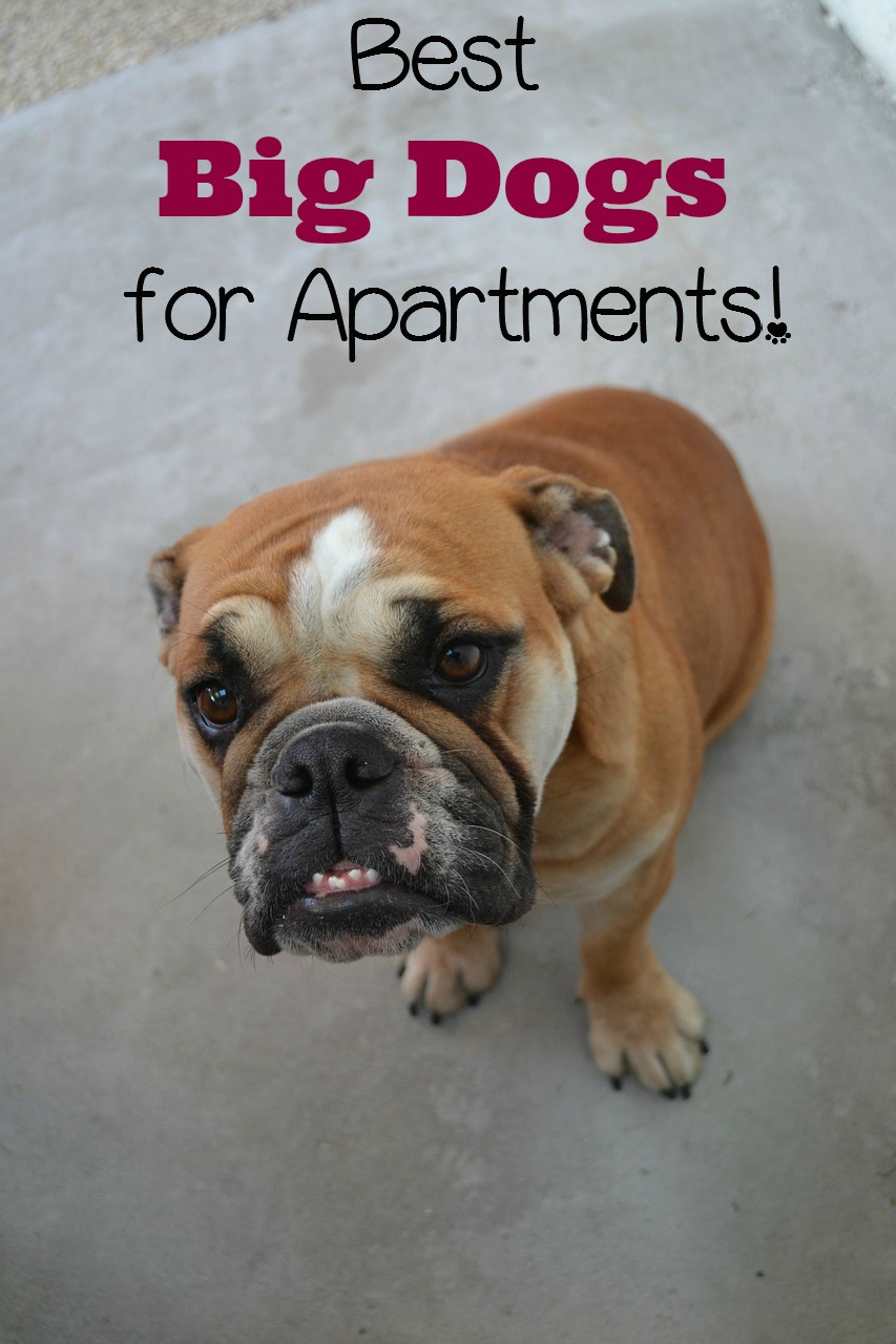 best big dogs for apartments - dog vills