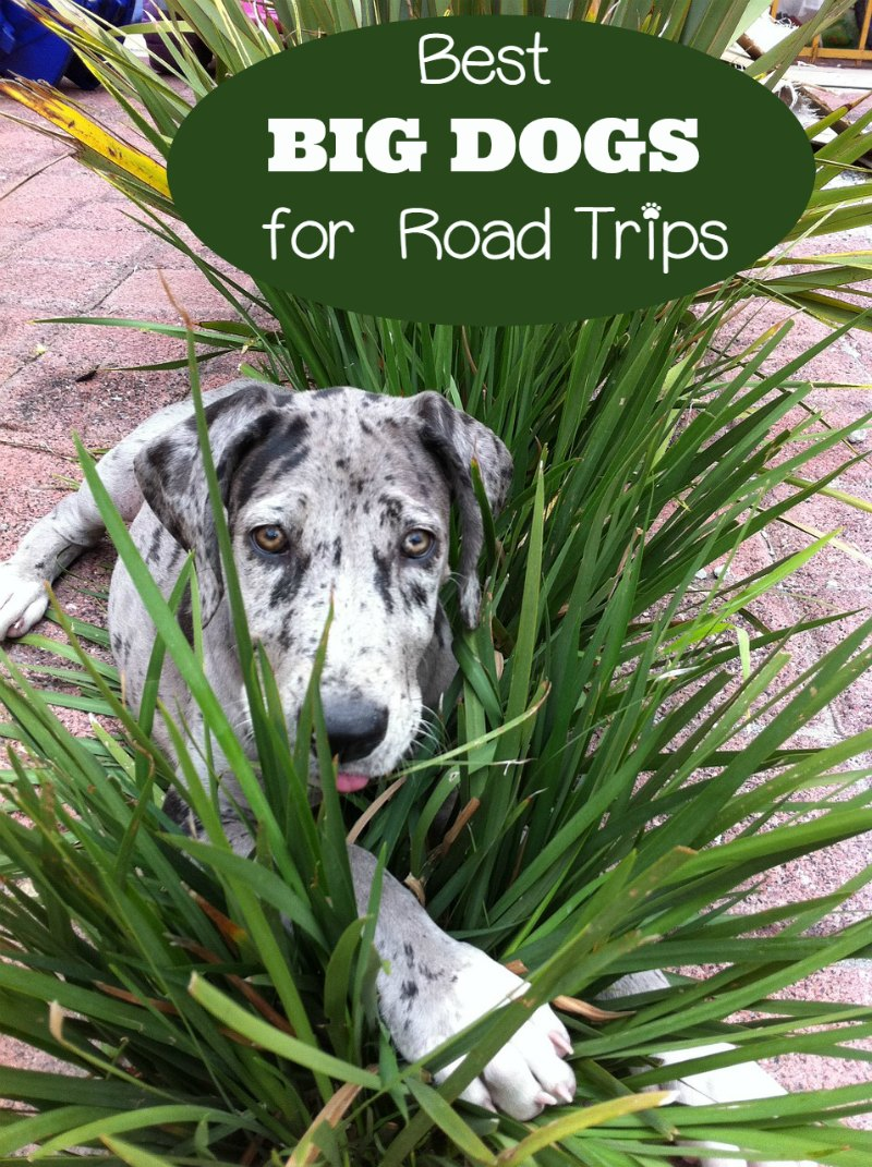 Best Dog Breeds For Road Trips
