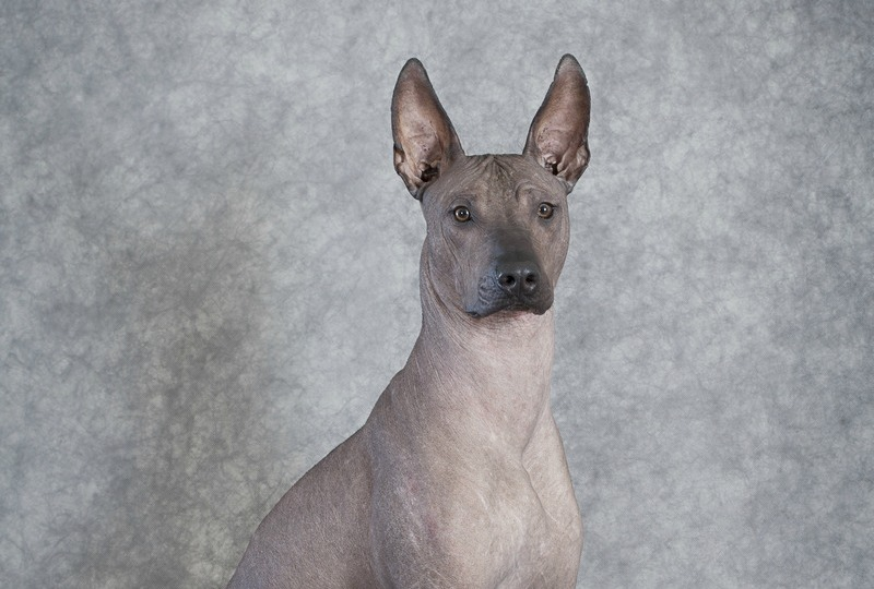 Mexican xoloitzcuintle dog sitting against grey background