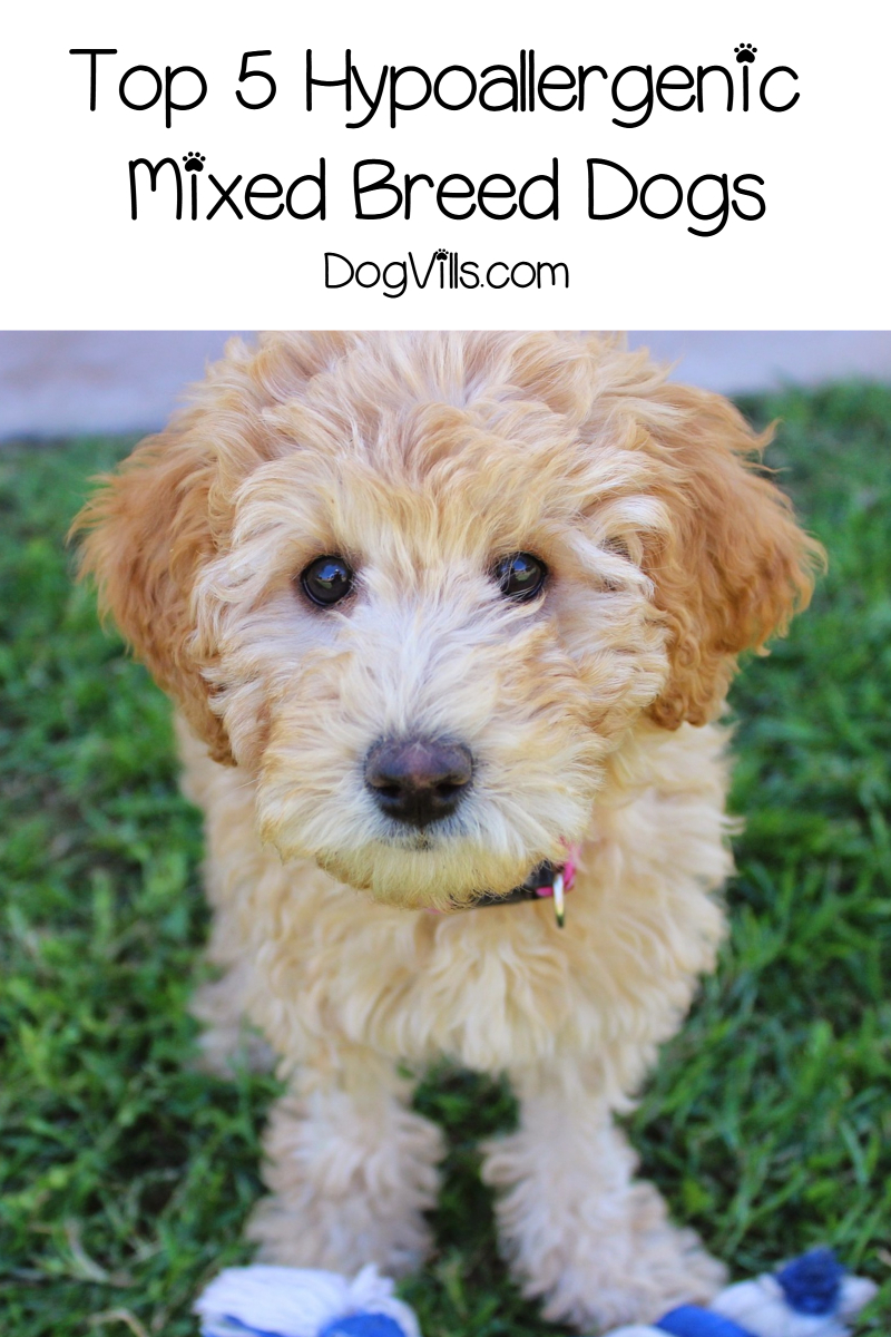 What are the Best Mixed Breed Hypoallergenic Dogs?