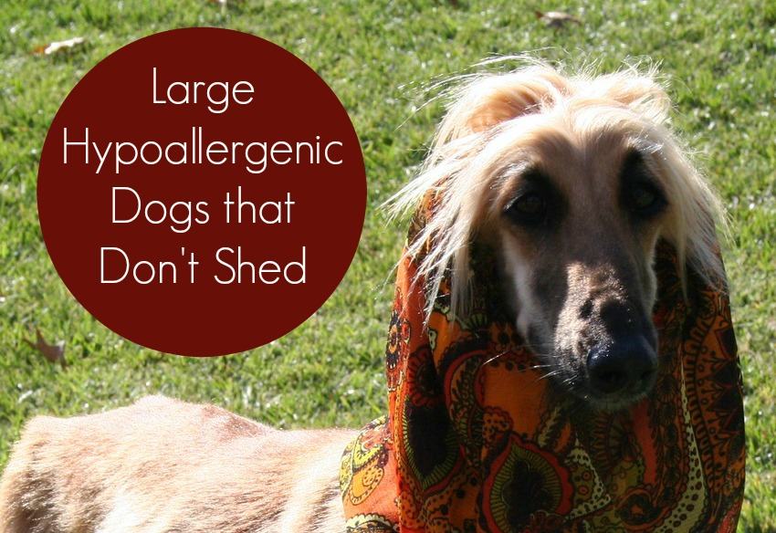 Large Dogs That Shed Little
