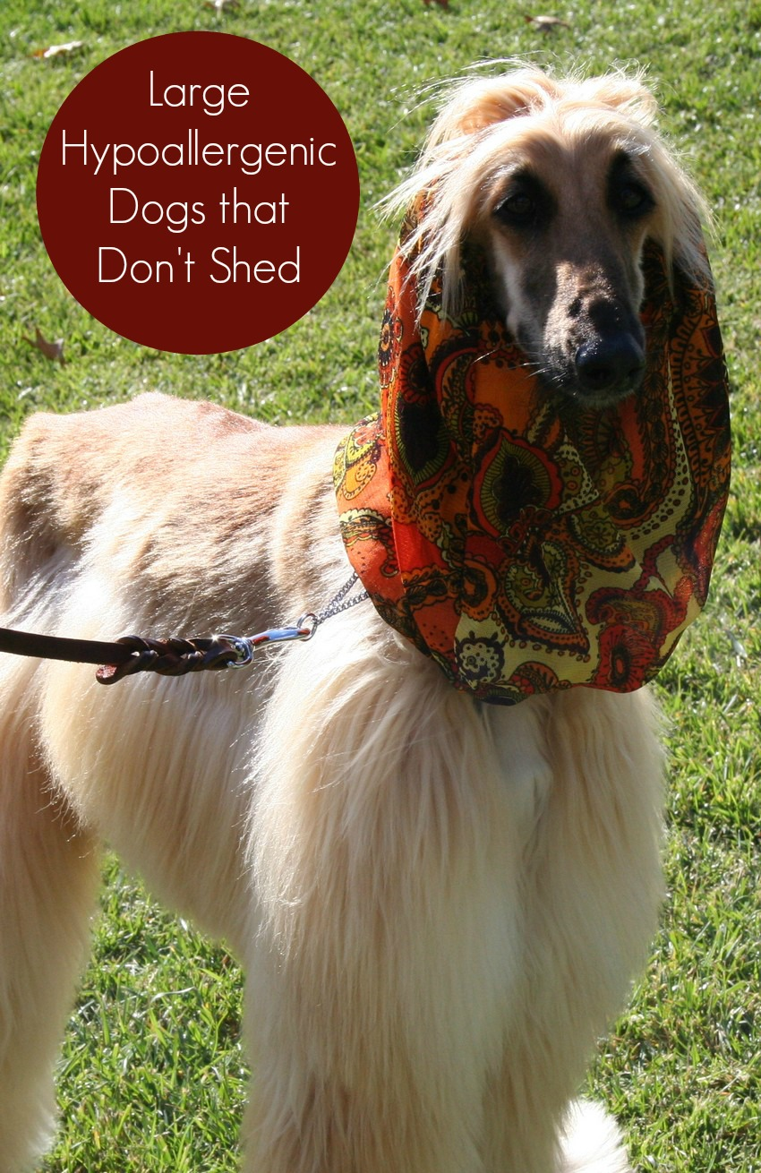 Large Hypoallergenic Dogs that Don't Shed