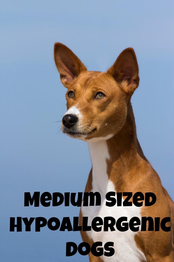 Medium Sized Hypoallergenic Dogs Dogvills