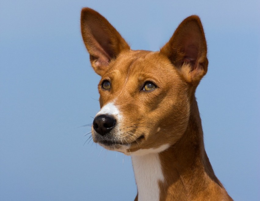 The basenji is among the least trainable dog breeds.
