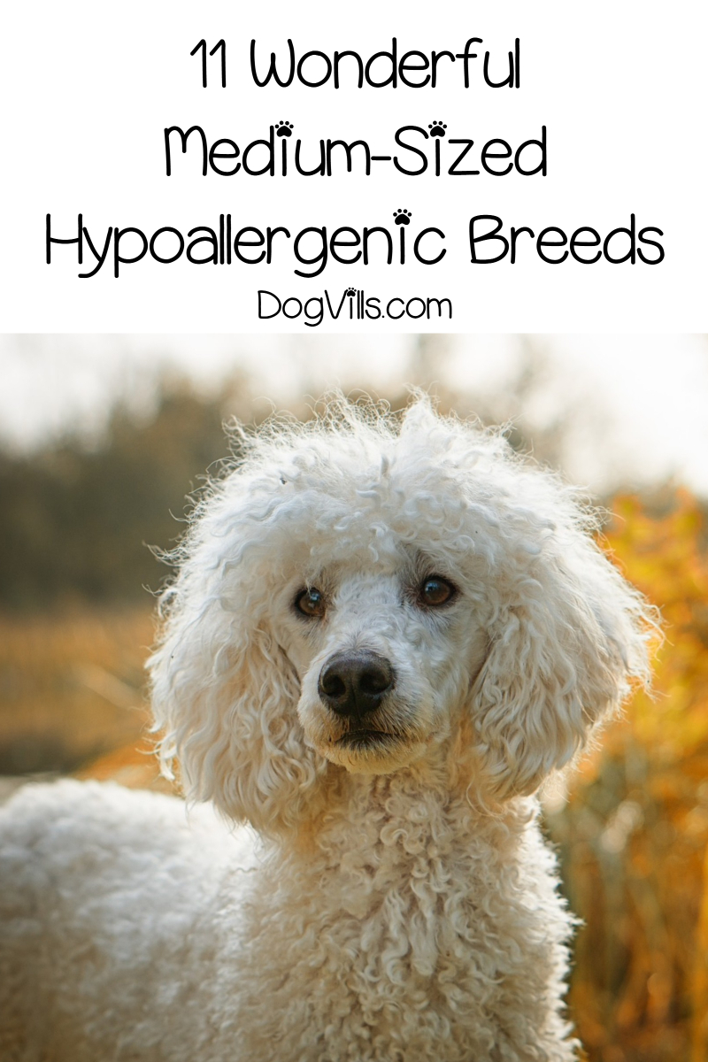 11 Medium Sized Hypoallergenic Dogs: They're Just Right!
