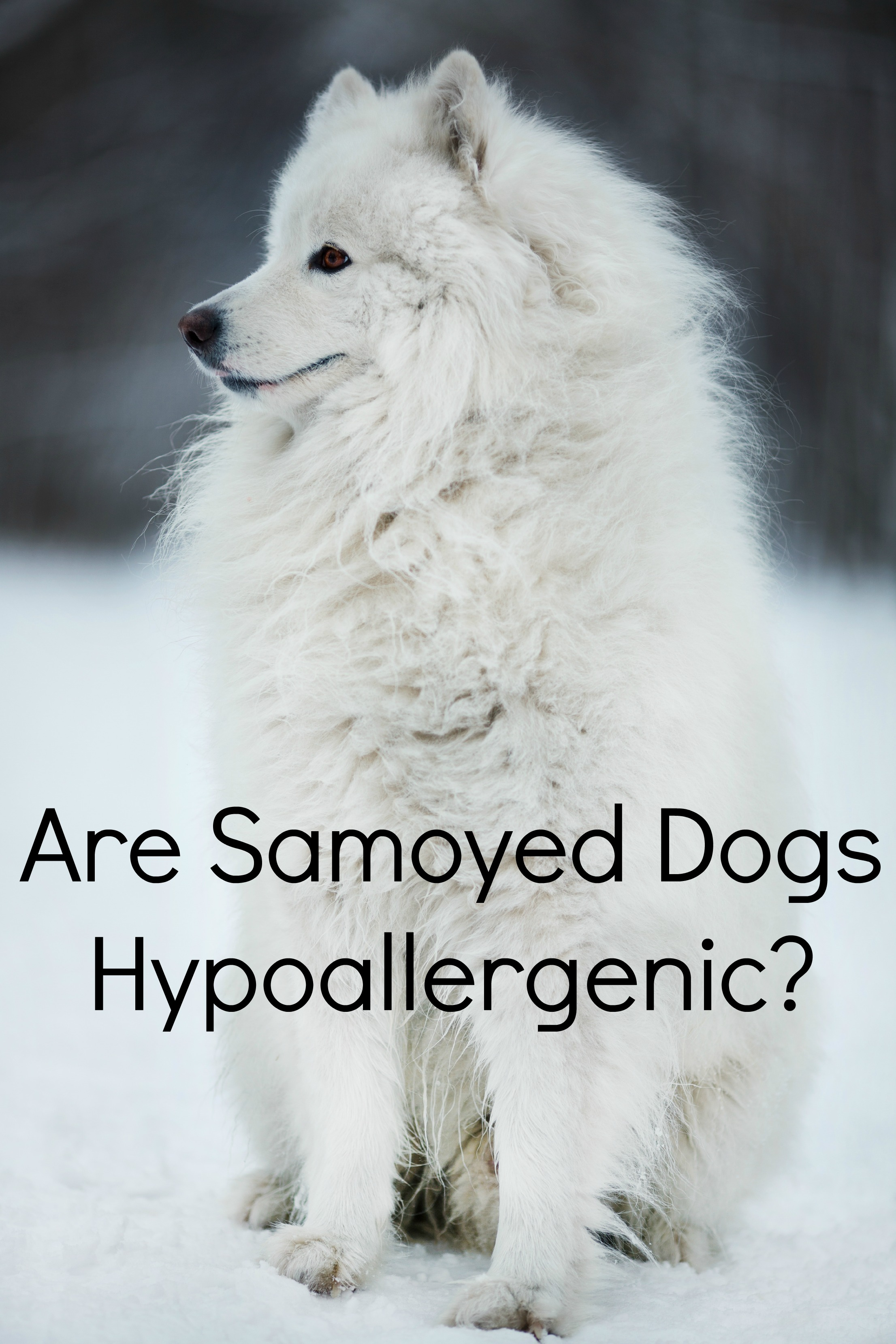 Are Samoyed Dogs Hypoallergenic?